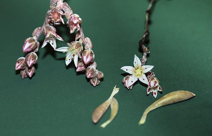 Ученые изсоедененных штатов дали имя Джими Хендрикса, открытому ими цветку